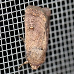 Proteuxoa hypochalchis (An owlet moth) at O'Connor, ACT - 28 Apr 2020 by ibaird