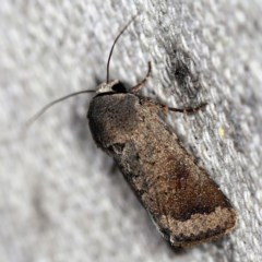 Proteuxoa leptochroa (A Noctuid moth) at O'Connor, ACT - 28 Apr 2020 by ibaird
