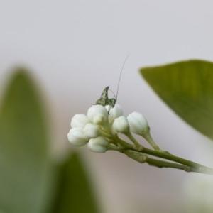 Caedicia simplex at Michelago, NSW - 29 Oct 2019