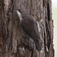 Cormobates leucophaea (White-throated Treecreeper) at Illilanga & Baroona - 20 Feb 2012 by Illilanga