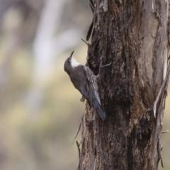 Cormobates leucophaea at Michelago, NSW - 20 Feb 2012