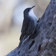 Cormobates leucophaea (White-throated Treecreeper) at Illilanga & Baroona - 25 Jun 2012 by Illilanga