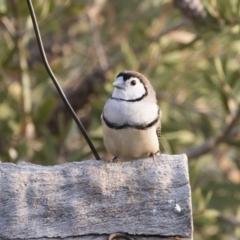 Taeniopygia bichenovii at Michelago, NSW - 26 Dec 2019