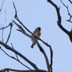 Carduelis carduelis (European Goldfinch) at Michelago, NSW - 22 Aug 2011 by Illilanga
