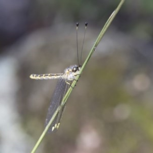 Suhpalacsa sp. (genus) at Michelago, NSW - 12 Jan 2019