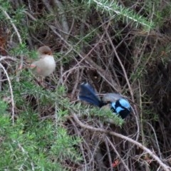 Malurus cyaneus (Superb Fairywren) at Jerrabomberra Wetlands - 1 May 2020 by RodDeb