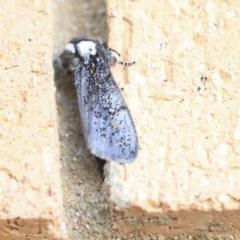 Oenosandra boisduvalii (Boisduval's Autumn Moth) at Higgins, ACT - 6 Apr 2020 by AlisonMilton