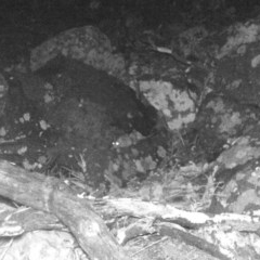 Rattus rattus (Black Rat) at Theodore, ACT - 30 Apr 2020 by ChrisHolder