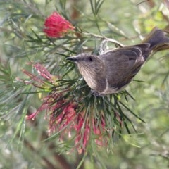 Phylidonyris pyrrhopterus (Crescent Honeyeater) at Merimbula, NSW - 2 May 2020 by Leo