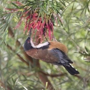 Acanthorhynchus tenuirostris at Merimbula, NSW - 2 May 2020