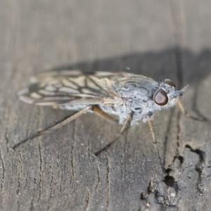 Anabarhynchus sp. (genus) at Michelago, NSW - 24 Apr 2020