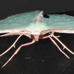 Chlorocoma (genus) at Ainslie, ACT - 9 Dec 2019