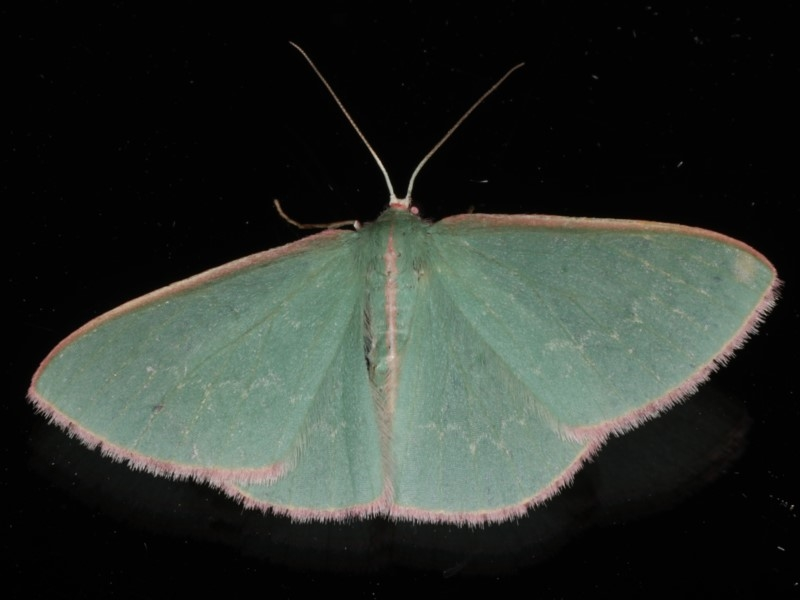 Chlorocoma (genus) at Ainslie, ACT - 9 Dec 2019