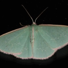 Chlorocoma (genus) (Emerald moth) at Ainslie, ACT - 9 Dec 2019 by jbromilow50