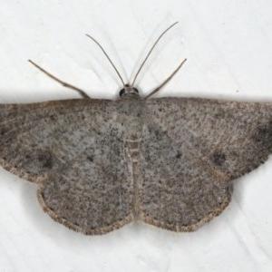 Taxeotis subvelaria at Ainslie, ACT - 9 Dec 2019