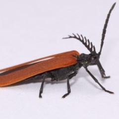 Porrostoma sp. (genus) (Lycid beetle, Net-winged beetle) at Evatt, ACT - 30 Oct 2016 by TimL