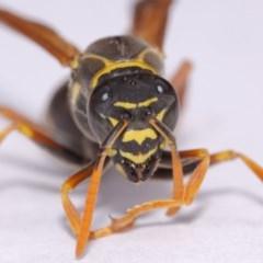 Polistes (Polistes) chinensis (Asian paper wasp) at Evatt, ACT - 18 Nov 2016 by TimL
