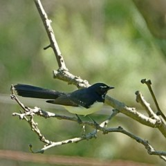 Rhipidura leucophrys (Willie Wagtail) at Brogo, NSW - 2 May 2020 by MaxCampbell