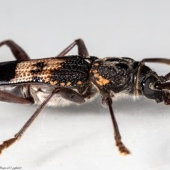 Phoracantha semipunctata (Common eucalypt longicorn) at Macgregor, ACT - 3 May 2020 by Roger