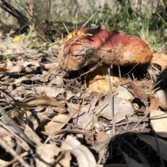 Unidentified Bolete - Fleshy texture, stem central (more-or-less) (TBC) at Callum Brae - 3 May 2020 by Ratcliffe