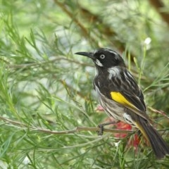 Phylidonyris novaehollandiae (New Holland Honeyeater) at Merimbula, NSW - 3 May 2020 by Leo