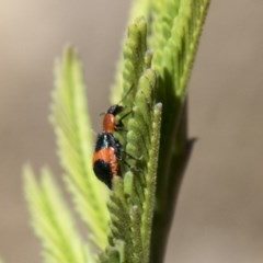 Dicranolaius bellulus (Red and Blue Pollen Beetle) at The Pinnacle - 27 Feb 2020 by AlisonMilton