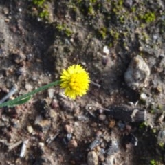 Calotis lappulacea (Yellow burr daisy) at Majura, ACT - 3 May 2020 by JanetRussell