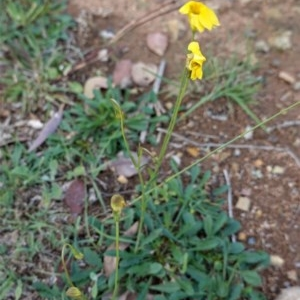 Goodenia pinnatifida at Deakin, ACT - 2 May 2020