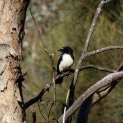 Rhipidura leucophrys (Willie Wagtail) at Red Hill Nature Reserve - 3 May 2020 by Ct1000
