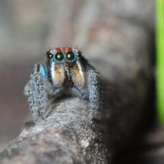 Maratus plumosus (Peacock Spider) at Woodlands, NSW - 16 Nov 2017 by Harrisi