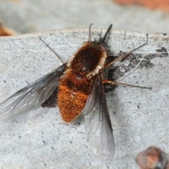 Unidentified Bee fly (Bombyliidae) (TBC) at - 17 Nov 2017 by Harrisi
