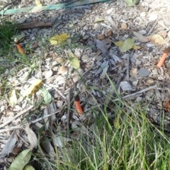 Phallus rubicundus (A stinkhorn fungus) at Spence, ACT - 14 Apr 2020 by Watermilli