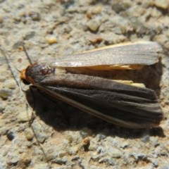 Palaeosia bicosta (Two-ribbed Footman) at Mulligans Flat - 3 May 2020 by Christine