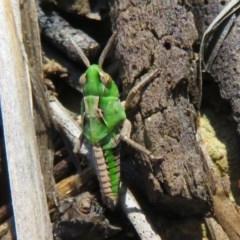 Perala viridis (Spring buzzer) at Mulligans Flat - 3 May 2020 by Christine