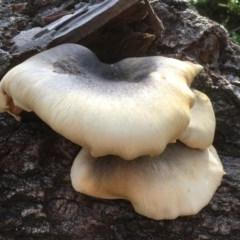 Omphalotus nidiformis (Ghost Fungus) at Merimbula, NSW - 3 May 2020 by SueMuffler