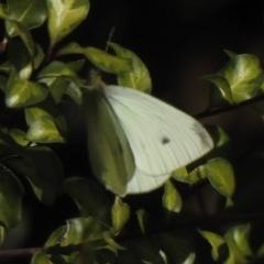 Pieris rapae (Cabbage White) at Aranda, ACT - 3 May 2020 by KMcCue