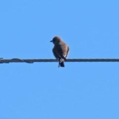 Artamus cyanopterus (Dusky Woodswallow) at Greenway, ACT - 3 May 2020 by RodDeb