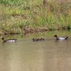 Chenonetta jubata (Australian Wood Duck) at Isabella Pond - 3 May 2020 by RodDeb