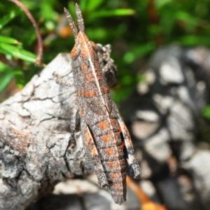 Apotropis tricarinata at Lower Boro, NSW - 16 Nov 2016