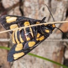 Amata (genus) (Handmaiden) at Gungaderra Grasslands - 5 Apr 2020 by DerekC
