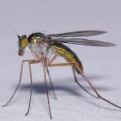 Austrosciapus sp. (genus) (Long-legged fly) at Evatt, ACT - 19 Nov 2016 by TimL
