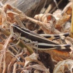 Macrotona australis (Common Macrotona Grasshopper) at Bullen Range - 15 Jan 2020 by michaelb