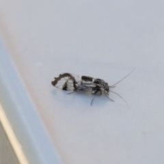 Psocodea 'Psocoptera' sp. (order) at Michelago, NSW - 3 May 2020