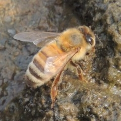 Apis mellifera (European honey bee) at Bullen Range - 15 Jan 2020 by michaelb