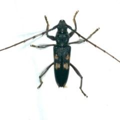 Phoracantha punctata (Longhorn beetle) at Rosedale, NSW - 15 Nov 2019 by jbromilow50