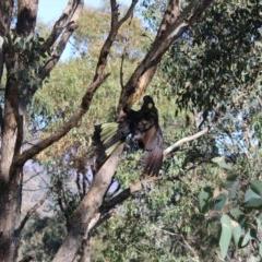 Zanda funereus (Yellow-tailed Black-Cockatoo) at Gordon, ACT - 5 May 2020 by ChrisHolder