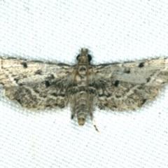 Sufetula hemiophthalma (A Crambid moth) at Rosedale, NSW - 16 Nov 2019 by jbromilow50