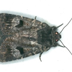 Thoracolopha verecunda (An Amphipyrinae Moth) at Rosedale, NSW - 16 Nov 2019 by jbromilow50