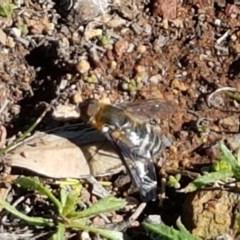 Villa sp. (genus) (Unidentified Villa bee fly) at Mount Majura - 5 May 2020 by tpreston