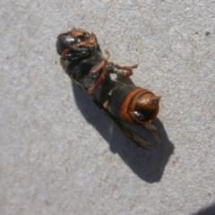 Eumeninae sp. (subfamily) (Unidentified Potter wasp) at Hackett, ACT - 3 May 2020 by waltraud
